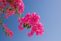 Beautiful pink flowers. Over blue sky Stock Photo