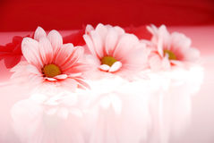 Beautiful pink flowers Stock Image