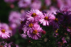 Beautiful pink flowers. Asters - beautiful garden flowers royalty free stock photo