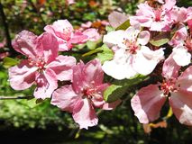 Pink apple tree blooms in spring, Lithuania Stock Photos