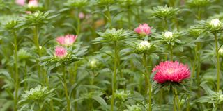 Pink flower aster and buds blooming in a park or garden. Beautiful pink flowers asters growing on the lawn or in the field stock photography