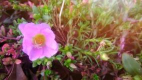 Beautiful pink flowers. In the backyard Stock Photos