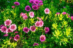 Beautiful pink flowers on a bed in a garden Royalty Free Stock Photo