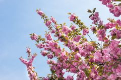 Beautiful pink flowers blooming on branches of the tree and blue sky as background. Beautiful pink flowers blooming on branches of cherry tree in spring and stock photos