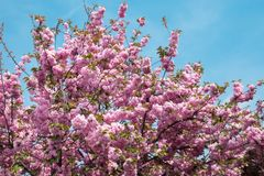 Beautiful pink flowers on blooming branches of the tree in spring and blue sky as background. Beautiful pink flowers blooming on branches of cherry tree in stock image