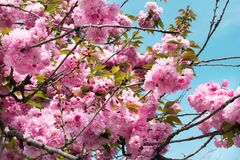 Beautiful pink flowers blooming on branches in spring and blue sky as background. Beautiful pink flowers blooming on branches of cherry tree in spring and blue royalty free stock photo