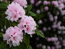 Beautiful pink flowers. Blooming bush with pink flowers in the garden Royalty Free Stock Photography
