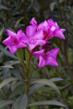 Beautiful pink flowers blooming oleander Stock Images