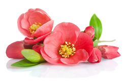 Beautiful pink flowers with buds Royalty Free Stock Images