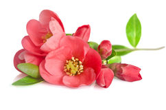 Beautiful pink flowers with buds Royalty Free Stock Image