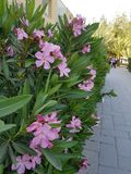 Beautiful pink flowers on the campus of the University of Cyprus stock photography