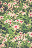 Beautiful pink flowers (Catharanthus roseus). Royalty Free Stock Photography