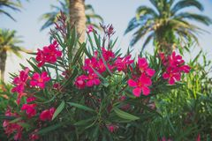 Beautiful pink flowers. Royalty Free Stock Photography