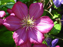 Beautiful pink flowers of clematis Royalty Free Stock Photo