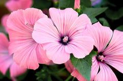 Beautiful pink flowers Stock Photos