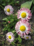 Beautiful pink flowers of a daisy Royalty Free Stock Photos