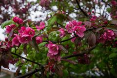 Beautiful pink flowers of dark cherry plum on a branch in spring.  stock photo