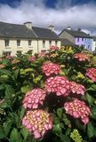 Beautiful pink flowers in Eyeries Village, West Cork, Ireland Stock Image