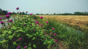 Beautiful pink flowers. In the field Royalty Free Stock Photo