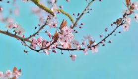 flowers flowering on a branch of a tree on blue sky stock image