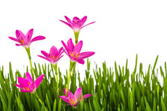 Beautiful pink flowers and fresh spring green grass isolated Royalty Free Stock Photography