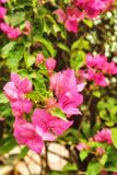 Beautiful pink flowers in the garden Royalty Free Stock Image