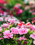 Beautiful pink flowers in the garden. Close-up of beautiful pink flowers in the garden stock image