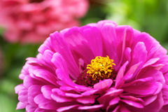 Beautiful pink flowers Royalty Free Stock Image