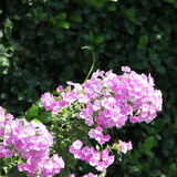 Beautiful pink flowers in the garden Stock Images
