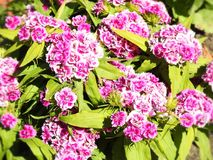 Beautiful pink  flowers in garden, Lithuania Royalty Free Stock Image