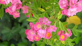 Beautiful pink flowers. With green background stock footage