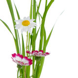Beautiful pink flowers and green. Grass isolated on white background Royalty Free Stock Images