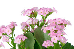 Beautiful pink flowers and green leaves Stock Photography