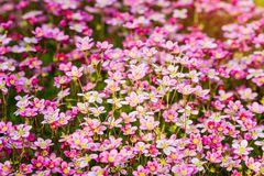 Beautiful pink flowers Royalty Free Stock Photos