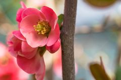 Beautiful Pink Flowers in a Home Garden. Close up of a Tree Branch in Blossom in Spring. Selective Focus stock image