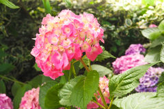 Beautiful pink flowers of Hydrangea macrophylla or Hortensia in. Closeup view of the beautiful pink flowers of Hydrangea macrophylla or Hortensia in the garden Stock Images
