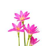Beautiful pink flowers isolated Royalty Free Stock Photography