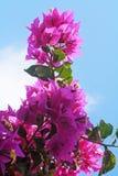 Beautiful pink flowers. Royalty Free Stock Photo