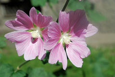 Beautiful pink flowers of the medicinal plant mallow in the garden. Medicinal plants. Beautiful pink mallow flowers adorn the flowerbed in the garden. A close-up Stock Photo