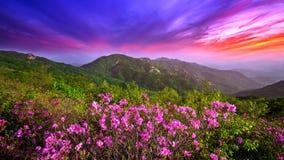Beautiful pink flowers on mountains at sunset, Hwangmaesan mountain in Korea. Royalty Free Stock Images