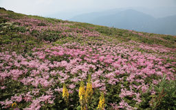 Beautiful pink flowers On Moutain Royalty Free Stock Image