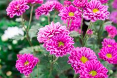 The pink gerber daisies flowers spring flowers on the at sunset. Beautiful pink flowers The pink gerber daisies flowers spring flowers on the at sunset stock photography
