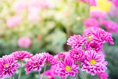 The pink gerber daisies flowers spring flowers on the at sunset royalty free stock image