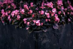 Beautiful pink flowers plant in a black container stock photos