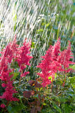 Beautiful pink flowers in the rain stock photography