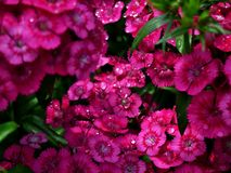 Beautiful pink flowers after rainfall Royalty Free Stock Photos