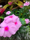 Beautiful pink flowers. At resort Stock Image