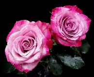 Beautiful pink flowers. Beautiful pink roses with waterdrops Stock Images