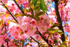 Beautiful pink  flowers of sakura, Japanese cherry,  blossomed in spring. lowers wallpaper, Happy mother`s day, pink background royalty free stock photography