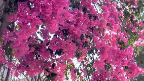 Beautiful pink flowers in slow motion. Beautiful pink flowers moving in the wind stock video footage
